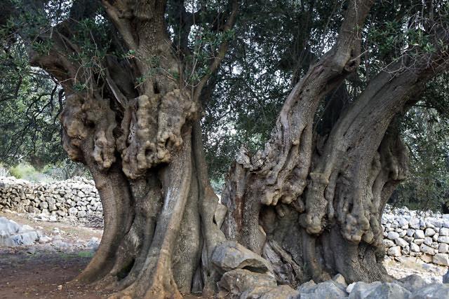 Oude olijfbomen in Lun